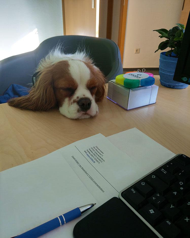 Büro-Maskottchen - Foto von einem Hund